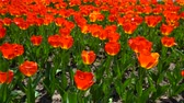 тюльпаны : Beautiful Red Tulips Garden Стоковые видеозаписи