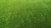 vista : Green wheat field and sunny day Stock Footage