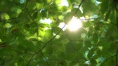 luxuriante : Forest tree and green leaves glowing in sunlight, vintage lens video Vídeos