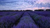 lilás : Lavender field and endless blooming rows, summer sunset landscape, Provence France