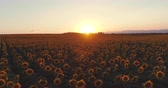 日の出 : Sunflower field and golden sunset in the countryside