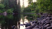 smooth water : River flowing smoothly through the forest at sunset (package of 5 scenes, tracking shot, fixed angle, trees in the front, looking up and down the river)