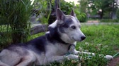 родословная : Cozy Alaskan Husky dog ??with clover flowers is enjoying life at home in a suburban environment with an old fence in the background (package of 6 scenes, traveling up, fixed angle and close up)