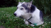 родословная : Cozy Alaskan Husky dog ??surrounded by clover flowers is enjoying life at home in a suburban environment with tall fat in the background (package of 6 scenes, traveling up, fixed angle and close up) Стоковые видеозаписи