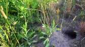 czarne tło : Marmots burrow or terrier found in a park with tall grass and plants at sunset - Panning right Wideo