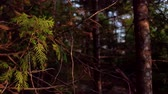 boreal : Cedar trees on a sunny day (package of 4) Stock Footage
