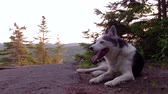 Alaskan Husky dog ??laying down on a forest mountain top - Panning around the horizon in the background (package of 2 scenes)