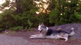como : Alaskan Husky dog ??laying down on a forest - Photo by Alaskan Husky