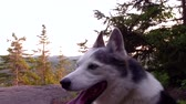como : Alaskan Husky dog ??laying down on a forest landscape with mountain in the background - (package of 2 scenes, tracking and panning) Stock Footage