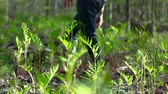 Man walking through ferns and touching them on a sunny day from the ground Stock Footage