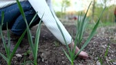 summer concept : Blurred woman taking care of her garlic plants with focus on the leaves Stock Footage