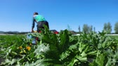forragem : Volunteer work on ecological farm crops. A close up view of healthy squash plants in a large plantation, as a blurry farm worker harvests organic produce beneath a bright blue sky with room for copy.