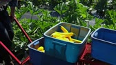 vrijwilligerswerk : Volunteer work on ecological farm crops. Slow motion footage of a farmhand at work, placing a straightneck squash, aka yellow summer squash, into a wheelbarrow and pushing the crops on farmland.