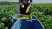 forragem : Volunteer work on ecological farm crops. A farm helper is seen close-up in slow-mo, removing the ends from yellow summer squashes (Cucurbita pepo), before placing fresh vegetables into large containers Vídeos