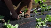 plântula : Volunteer work on ecological farm crops. Closeup and slow motion footage on the hands of a farmer, potting on young basil plants into the ground, through pierced holes in weed suppressant membrane.