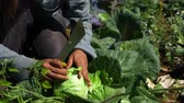 plântula : Volunteer work on ecological farm crops. Hands of a farm worker are seen up-close in slow motion, harvesting organic cabbage heads and removing the outer leaves, ready for market sale. Stock Footage