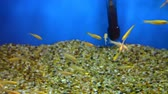 serbatoi : Small yellow fishes are swimming all directions with a blue watery background Filmati Stock