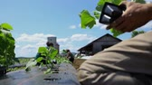 Slow motion footage shot at ground level perspective as farmhands plant young crops in a large field, removing plants from seed trays and planting in rows.