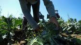 Closeup and slow motion footage of farmhands harvesting fresh and organic broccoli plants, using a large knife to chop florets from stalk on a warm sunny day.