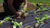 vrijwilligerswerk : A short video of an elderly person planting young herbs into fertile ground, covered with a weed block fabric, working on knees at an eco-friendly farm.