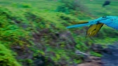 ара : Colourful flying parrot in tropical landscape