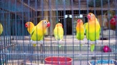 papagaio : Lovebirds parrots in cell. Colorful birds in the pet market.