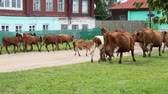 moço : Herd returning from the pasture to the village Stock Footage