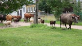 ovelha : Herd returning from the pasture to the village Stock Footage