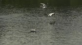 aves marinhas : Slow motion flying seagulls over water background