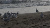 time : A flock of seagulls on the beach eating bread. The action in real time. Stock Footage