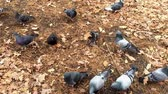 pigeon nest : A group of pigeons looking for food in the forest and then takes off. Action with slow motion effect.