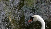 nibbling : Waterfall in the Forest, and the White Swan is Nibbling the Grass. the Action in Slow Motion.