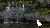 teal : White Swan and Waterfall. Stock Footage