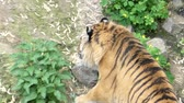 description : Graceful Gait of a Tiger in Slow Motion. Beautiful Action.