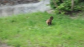 roatan : a Capuchin Monkey Running Around on the Ground. the Action in Real Time.