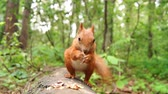 арахис : Cute Red Squirrel Jumps on a Tree Stump and Starts to Eat Nut. the Action in Real Time. Стоковые видеозаписи