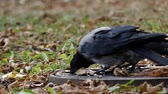 cornix : One Hooded Crow Drinking Water in Slow Motion. the Action in the Park.