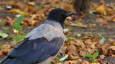 cornix : Beautiful Bird: Hooded Crow in Slow Motion. Forest. Stock Footage