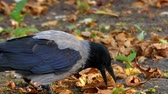 cornix : Beautiful Bird: Hooded Crow in Slow Motion. the Action in the Forest. Stock Footage