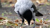 cornix : Hooded Crow Eating in Slow Motion. the Action in the Ground.
