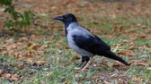 cornix : Hooded Crow Moving in Slow Motion. the Action on the Ground. Stock Footage