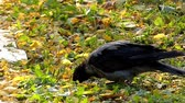 cornix : Hooded Crow Drinking Water in Slow Motion. the Action on the Ground.