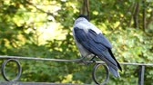cornix : Hooded Crow Sitting on the Fence. Close up Shot. Beautiful Action.