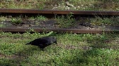 slomo : A black rook looks directly, turns aside and walks along rails in slo-mo Stock Footage