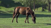 esplêndido : Dark Brown Horse Looking Graceful Grazes Green Grass on a Lawn in Slo-Mo