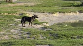 дворняжка : a Lonely Mongrel Dog Stands on a Lake Beach After Swimming in Summer in Slo-Mo Стоковые видеозаписи