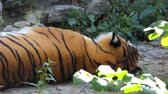 male animal : a Bengal Striped Tiger Lying on a Stone Surface Among Greenery in a Zoo
