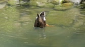 猛禽 : A funny duck dives and stirs its tail and paws in the lake in slo-mo 動画素材