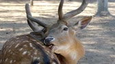 травоядное : Brown male deer licks its skin in slo-mo. It wants to be handsome. Стоковые видеозаписи