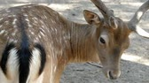 bilinen : Spotted male deer licks its skin wanting to be handsome in slo-mo